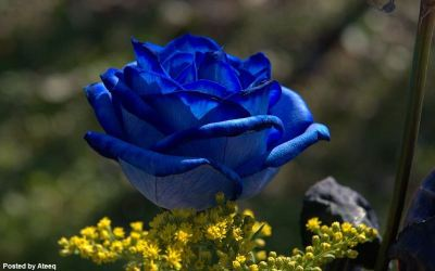 rose_blue-large-content